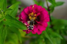 Hummingbird Hawk-moth (Macroglossum Stellatarum) On Zinnia Flower