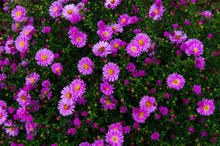 American Aster- Herbstastern. Bees On Small Violet Autumn Flowers