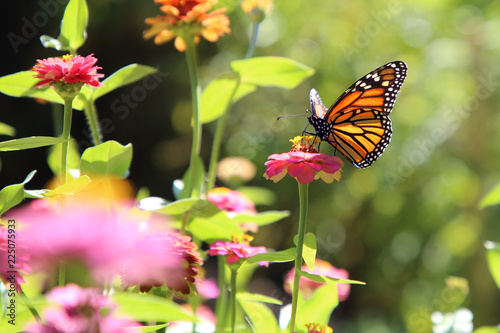 Fényképezés Monarch butterfly is sitting on a Zinnia flower