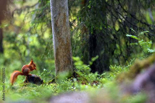 Fotografie, Obraz  The red squirrel or Eurasian red squirrel (Sciurus vulgaris), squirrel on the forest