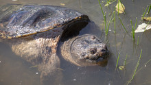 A Large Snapping Turtle Looks Up From The Murky Waters Of A Virginia Marsh.