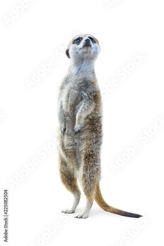 Fotografie, Obraz  Portrait of a meerkat standing upright and looking alert isolated on white background