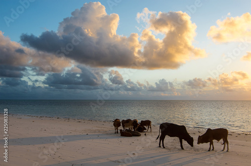 Young bulls and cows at dawn on the ocean shore. Zanzibar, Tanzania, East Africa.