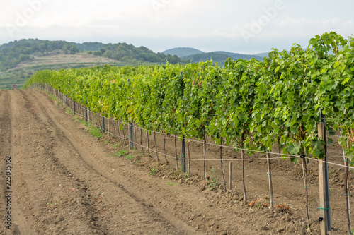 agriculture land with vineyard