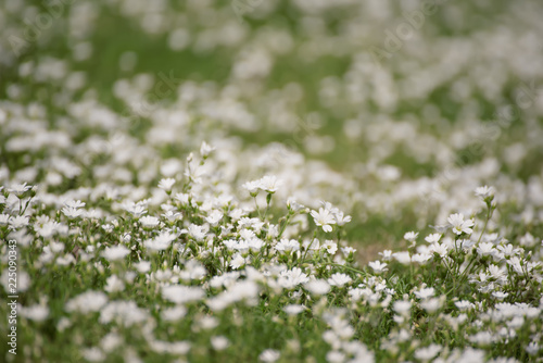 Foto op Plexiglas Lente White tender spring flowers, growing at meadow. Seasonal natural floral hipster background