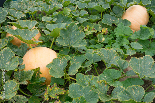 Fotografía  Fully grown pumpkins amongst plant leaves on a vegetable patch - variety is Gian