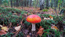Amanitas In The Forest