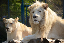 White Lion And Lioness In Zoo