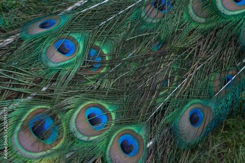 Foto op Aluminium Pauw Many Peacock Feathers