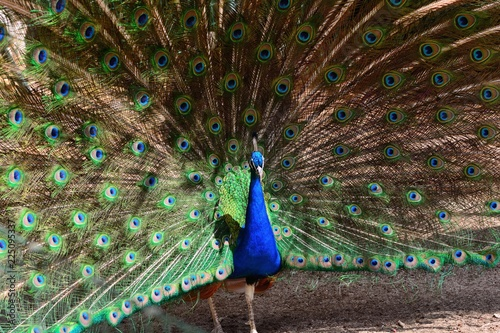 Poster Pauw Indian peacock (pavo cristatus) fanning out it's tail feathers