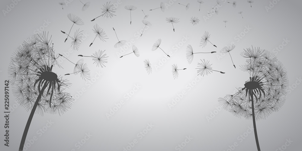 Fototapety, obrazy: Abstract white dandelions, dandelion with flying seeds - vector