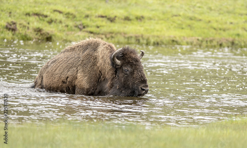 Spoed Foto op Canvas Bison Bison Crossing River