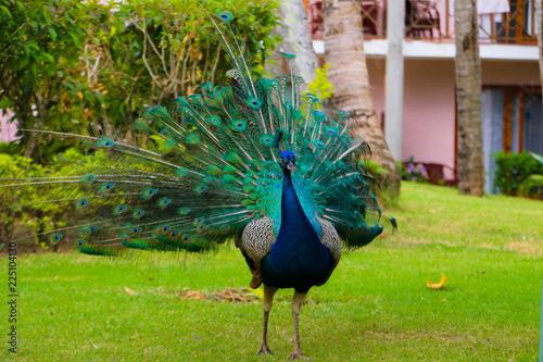 Foto op Plexiglas Pauw peacock with open tail