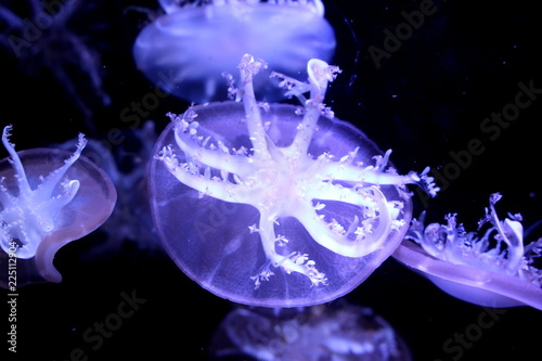 Photographie Upside-down jellyfish (Cassiopea andromeda)