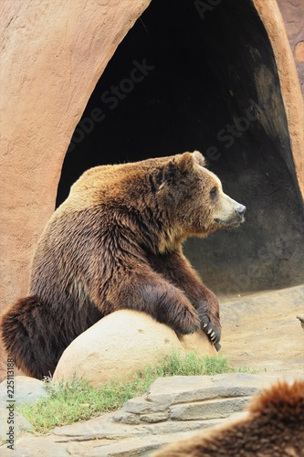 Brown bear on the rock