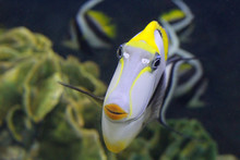 Fish : Naso Tang (Naso Liturat...