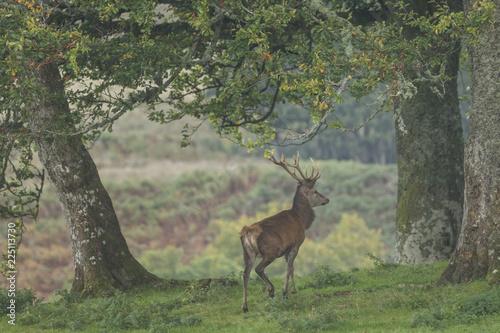 Garden Poster Bestsellers Red deer stag in woodland in Scotland in autumn