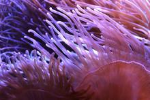 Heteractis Magnifica, Marine Biology, Sea Anemone In The Aquarium