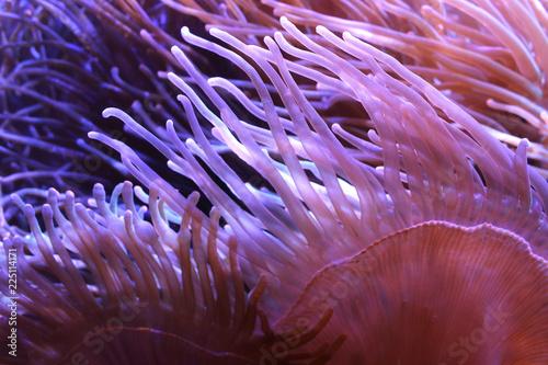 Photo Heteractis Magnifica, Marine biology, Sea anemone in the aquarium