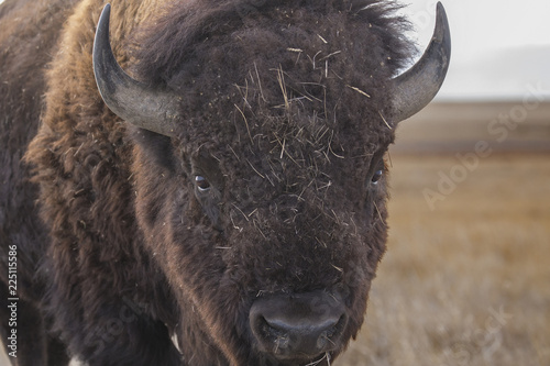 Foto op Canvas Bison Bison at Rocky Mountain Arsenal