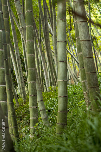 Foto op Canvas Bamboe thick trunk bamboo forest inside park