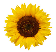 Ripe Sunflower With Yellow Petals And Dark Middle, Isolated On White Background.