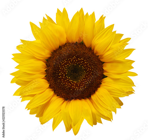 Poster de jardin Tournesol Ripe sunflower with yellow petals and dark middle, isolated on white background.