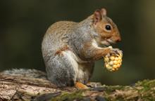 A Cute Grey Squirrel  (Sciurus Carolinensis) Eating A Corn On The Cob.