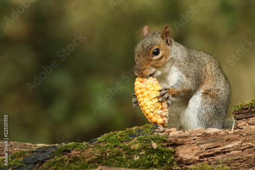 Tuinposter Eekhoorn A cute Grey Squirrel (Sciurus carolinensis) eating a corn on the cob.
