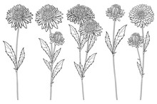 Vector Set With Outline Aster Flower Bunch, Ornate Leaf And Bud In Black Isolated On White Background. Contour Blooming Aster Plant For Summer Or Autumn Design And Coloring Page.