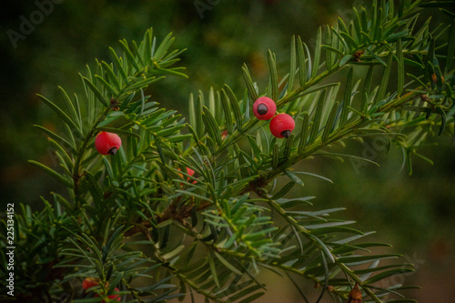 Fototapeta yew berries