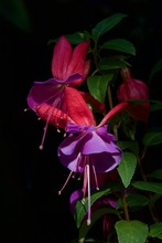 Pink Fuchsia Flower In Garden