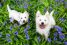 Dogs In Spring Flowers: West H...