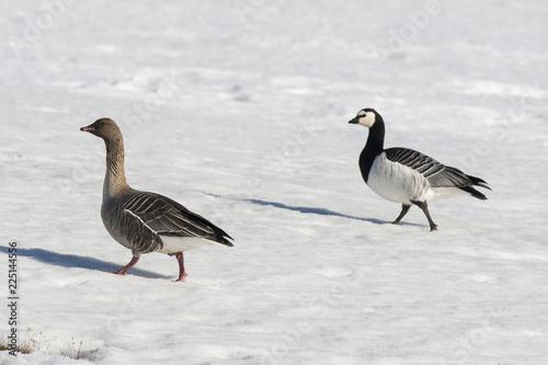 Bernache nonnette, .Branta leucopsis, Barnacle Goose, Oie à bec court,.Anser brachyrhynchus, Pink footed Goose, Spitzberg