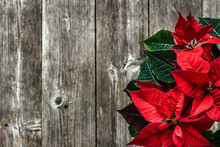 Christmas Rustic Background With Red Poinsettia Flower On Wooden Board