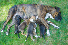 Mom Dog, Boxer Feeds Puppies