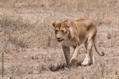 Fotografie, Obraz  lioness walking