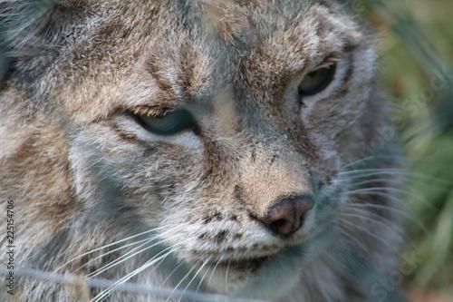 Foto auf Leinwand Luchs wilde Tiere