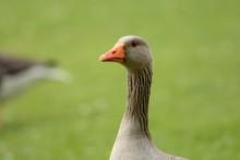 Head Shot Of A Greylag Goose (anser Anser)