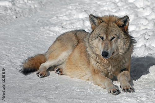 In de dag Wolf adult fluffy gray wolf lying on the snow