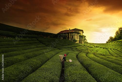 Canvas Prints Culture Tea Land