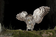 A Tawny Owl, Hunting Mouse, Ru...