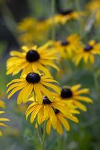 Rudbeckia Hirta Yellow Flower ...