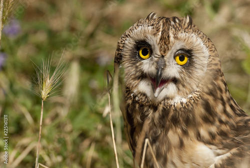 Staande foto Uil Short eared owl, Asio flammeus, country owl, portrait of eyes and face