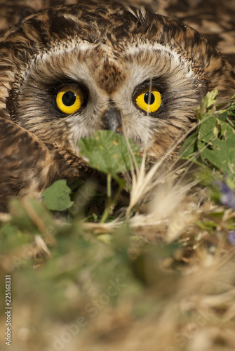 Short eared owl, Asio flammeus, country owl, portrait of eyes and face