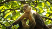 Monkey Mother Breastfeeding He...