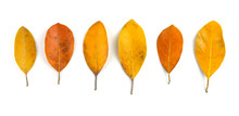 Collection Of Colorful Autumn, Yellow Leaves Isolated On White Background