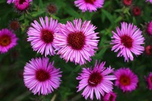 Purple Field Flower Ice Plant