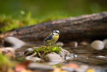 Blue Tit In A Pond