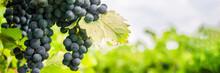 Vineyard Panoramic Shot, Copy Space